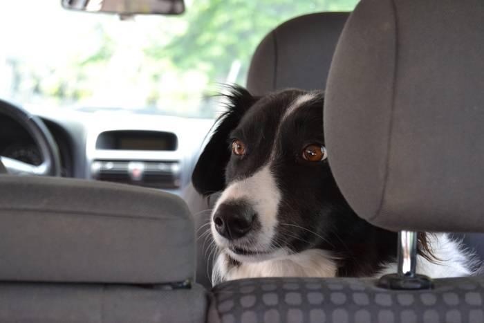 Pies w samochodzie – o czym zawsze powinieneś pamiętać?